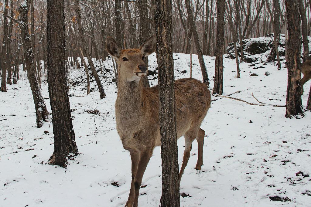 Пятнистый олень в Приморском крае