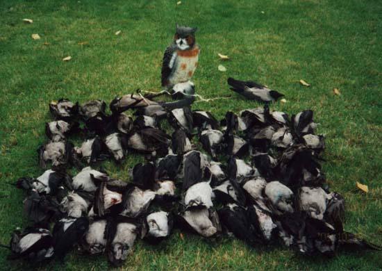 """Охота на ворон с """"подсадным"""" филином"""